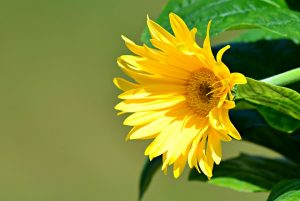 Semillas flores Córdoba - Fitocor